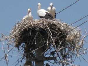 Storks nest in Dalyan